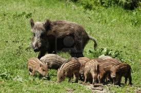 boar family Granada