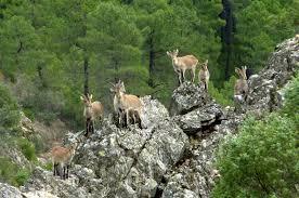 Spanish ibex Granada